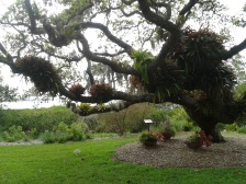 The famous tree at Selby garden in Sarasota.