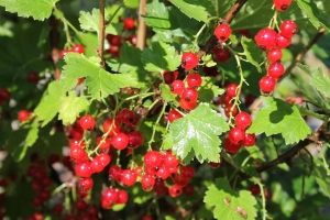 Red currant bush. The berries contain the most vitamin C.