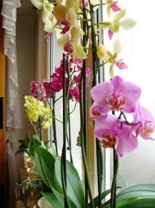 Orchids in full bloom