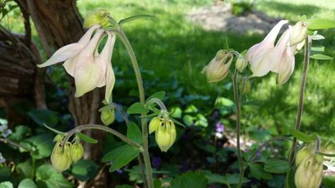 Fragile columbines bring life to spring garden.